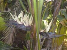 bird of paradise GIANT WHITE flower, house plant 7 seeds! GroCo#