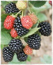 Pianta di MORA SENZA SPINE 'Triple Crown' Rubus Fruticosus' - Precoce
