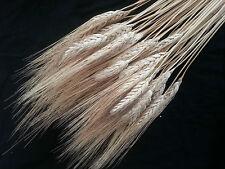 50 spighe di grano naturale fiori artificiali bomboniere addobbi DECORAZIONI.