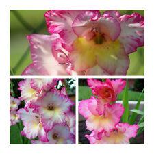 8 graines de Glaïeul Parfumé Gladiolus Tristis H106 DAMA DE NOCHE SEMILLAS SEEDS
