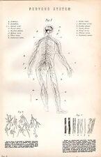 1880 stampa ~ ANATOMIA UMANA ~ il sistema nervoso NERVI CELLE