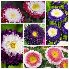 Seeds Aster Pompon Flowers Mix Outdoor Annual Garden Cut Organic Ukraine