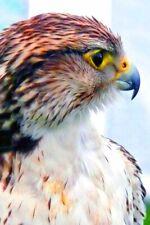Bird of Prey Hawk Photograph Picture Art Print