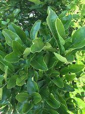 Fresh Kaffir Lime Citrus Hyst Leaves Thai Gourmet Herbs Hand Picked When Order