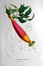 LISIANTHUS PRINCEPS,  VAN HOUTTE  Antique Botanical Print c1850