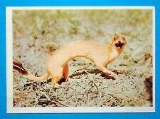 Figurina Panini-ANIMALI DI TUTTO IL MONDO 1965-n.103-DONNOLA-rec
