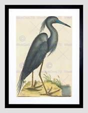 Mark Catesby inglés Blue Heron Imagen de Impresión Arte Enmarcado Negro B12X5355