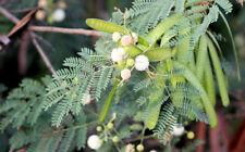 Leucaena leucocephala Miracle Tree seeds Multi Purpose -Blooms all Year