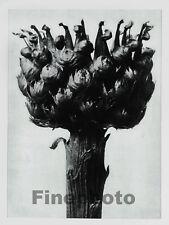 1929 Original BOTANICAL PLANT Flower By KARL BLOSSFELDT