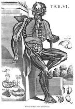 ML43 Vintage Medical Anatomy Human Body Muscles Nerve Da Cortona Poster A2/A3/A4