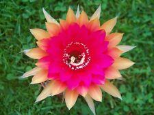 Samen Seeds Echinopsis Hybrid MIX von über 500 verschiedenen Sorten selten