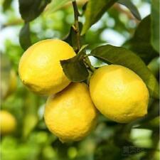 20 pcs bonsai lemon tree NO-GMO fruit lemon seeds for home garden planting