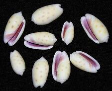 "Oliva Tessellata Olive Shells 3/4""-1""~Craft/Jewelry Seashell Supply ~25/50 Pcs."