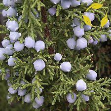 UTAH JUNIPER Juniperus Osteosperma 10,20,40 SEEDS