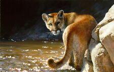 Bonnie Marris SHOWDOWN art print Cougar, Cat, Mountain Lion