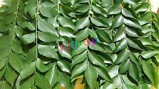 Fresh ORGANIC Indian Curry Leaves (Kari Patta) TEXAS GROWN !!! HOME GROWN !!!