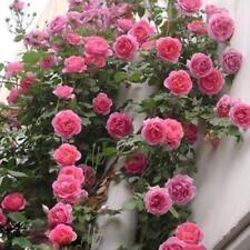 New 100pcs Rose red Climbing Rose Seeds Perennial Flower Garden Decor Home Plant