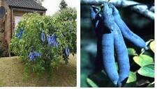 Exotischer Blaugurkenbaum blüht & bildet blaue Gurken