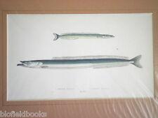Librairie ancienne petite/grande AMMODYTE Poisson Imprimé c1880 main couleur, poissons/Pêche à la ligne