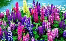 200Pcs Lupine Flowers Rare Seeds Beautiful Colorful Perennial Garden Flowers