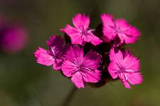 60 graines OEILLET DES CHARTREUX(Dianthus Carthusianorum)G173 SEEDS SAMEN SEMI
