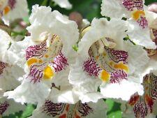 Catalpa, Catalpa speciosa, Northern, Tree Seeds, (Fast, Showy, Hardy)
