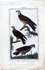 Gravure sur cuivre aquarellée de Massard, Oiseaux.