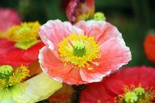 poppy, Iceland, perennial poppies flower, 1610 Seeds! GroCo