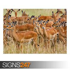 Mandria di Impala Donna Masai (3754) Animale Poster-Poster Arte Stampa A1 A2 A3 A4