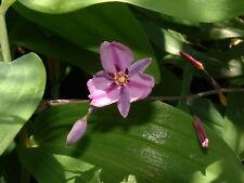 Arthropodium strictus- Chocolate Lily -15 seeds