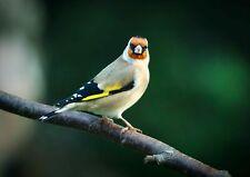 252198 Goldfinch Bird Watcher Birds Animal  WALL PRINT POSTER FR