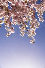 Fensterbild Frühling Kirsche Blüte Milchglasfolie (Sichtschutz) wiederablösbar