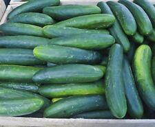 Cucumber Seed: Early Spring Burpless Cucumbers Fresh Seed Free Shipping!
