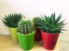 1 LARGE CACTUS EVERGREEN INDOOR OFFICE PLANT IN CERAMIC POT CACTI SUCCULENT