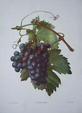 Vitis Vinifera - Carlos Von Riefel -30cms x 40cms botanical grapes still life