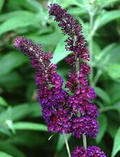 Sommerflieder auch Schmetterlingsstrauch Buddleja davidii verschiedene Farben