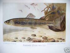 Die mitteleuropäischen Süßwasserfische 1901 Fische
